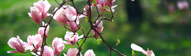 Poster Magnolia magnolia blossom spring garden / beautiful flowers, spring background pink flowers