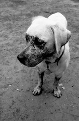 Labrador having fun outside face covered with mud black and white