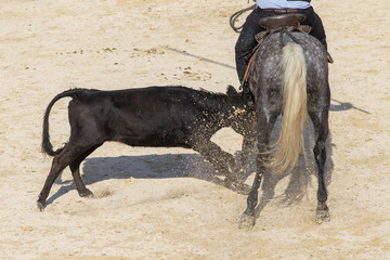 Young bull charging a horseman in the Camargue in the south of France.