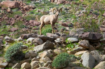 big horn sheep posing for picture