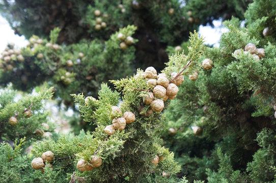 Cupressus sempervirens or mediterranean cypress plant