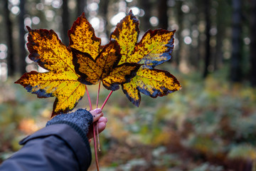 Woman hand wearing cozy knitted fingerless gloves holding beautiful golden wet maple leaves with black borders in an autumn forest background.