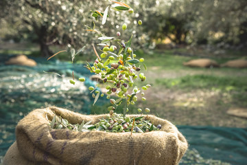 Ingelijste posters Olijfboom Harvested fresh olives in sacks in a field in Crete, Greece for olive oil production, using green nets.