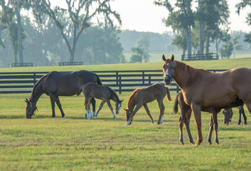 Foto op Canvas Paarden Thoroughbred horse mares and foals in paddock