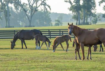Fotorolgordijn Paarden Thoroughbred horse mares and foals in paddock