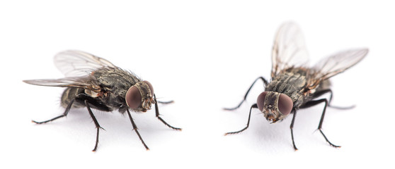 fly isolated on a white Fotomurales