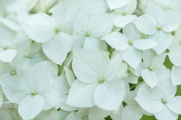 Wall Mural - white hydrangea flowers tender romantic floral background