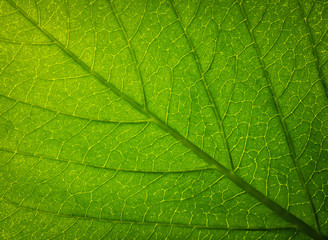 Wall Mural - Close up of Green leaf texture