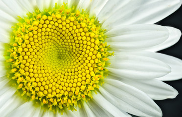 Foto op Canvas Madeliefjes Close view of Shasta daisy (Leucanthemum superbum) blossom. Each yellow hexagonal segment will open as a distinct flower. Pattern of the unopened flowers displays a Fibonacci sequence.