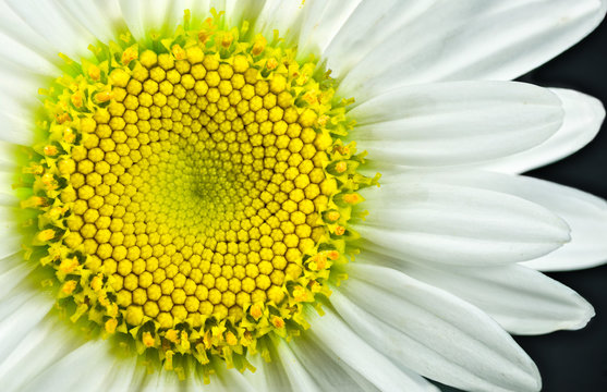 Close view of Shasta daisy (Leucanthemum superbum) blossom. Each yellow hexagonal segment will open as a distinct flower. Pattern of the unopened flowers displays a Fibonacci sequence.