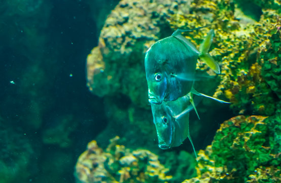 couple of lookdown fishes swimming together, funny silver flat fishes, tropical fish specie from the atlantic ocean