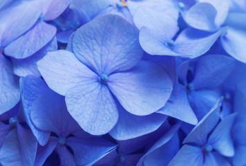 Fond de hotte en verre imprimé Hortensia Blue Hydrangea background. Hortensia flowers surface.