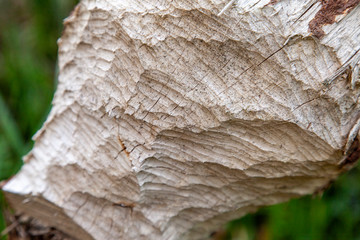 Beaver teeth marks on a tree trunk
