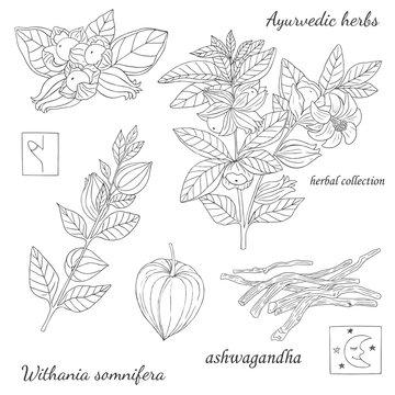 ashwagandha plant-8