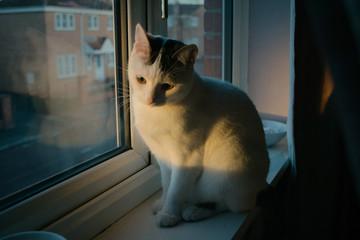 Pensive cat at at window