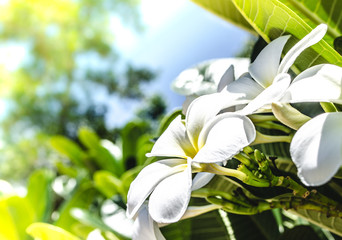 Beautiful frangipani or plumeria flowers in bright sun shine