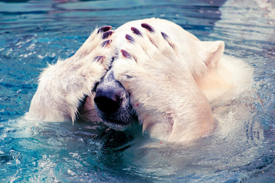 Large polar bear swimming in cold water