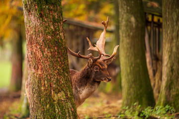 Foto op Plexiglas Ree A stag peeks from behind a tree in the forest