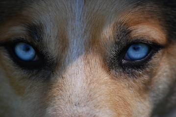 Wolf Blick Blau Augen Intensiv
