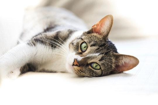 Short hair cat portrait resting on sofa  looking at camera