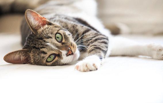Cat portrait lazy cat resting lying  looking at camera