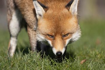 Red Fox, Vulpes vulpes, portrait caught in sunlight against a dark background during autumn/winter during November.