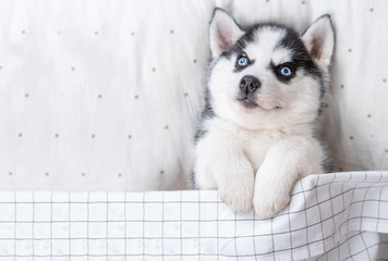 Blue-eyed Siberian Husky puppy lies on pillow under blanket. Empty space for text. Top view