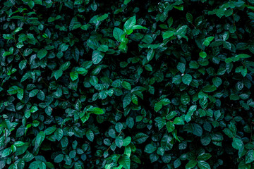 Fotomurales - abstract green leaf texture, nature background, tropical leaf
