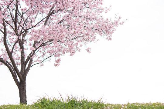 土手に咲く一本桜