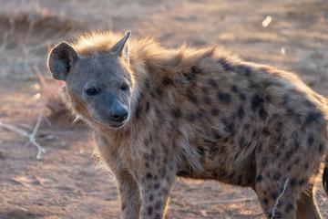 Fotobehang Hyena hyena in south africa