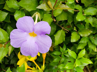 Purple Allamanda (scientific name: Allamanda blanchetii) Flowers are blooming on the trees in the garden.