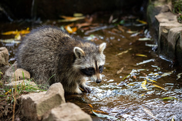 Portrait of young common raccoon testing the river water