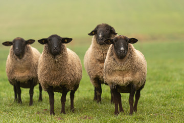 Foto op Aluminium Schapen a group of sheep on a pasture stand next to each other and look into the camera