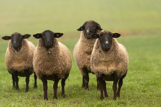 a group of sheep on a pasture stand next to each other and look into the camera