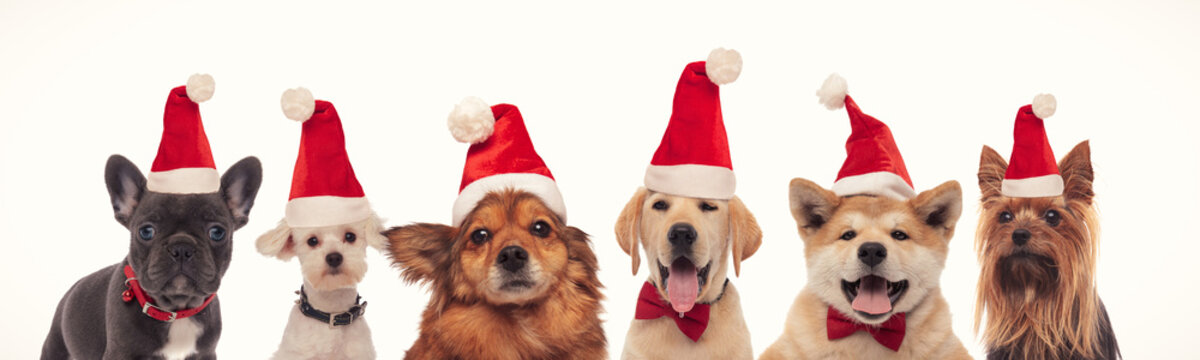 happy christmas dogs in a line wearing santa hats