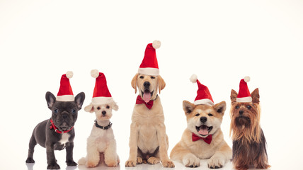adorable group of little santa claus dogs celebrating christmas