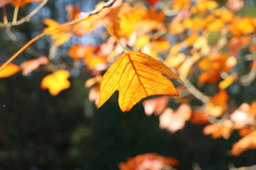 Closeup of a golden leaf in autumn with blurry background and copy space