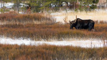 Bull Moose in Lamar Vally Foraging in a Meadow