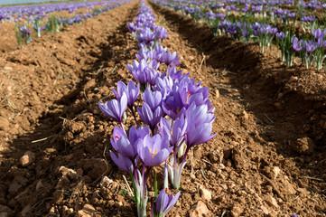 Deurstickers Krokussen Flores de azafrán en el campo