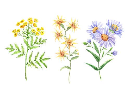 wild flowers set, watercolor illustration