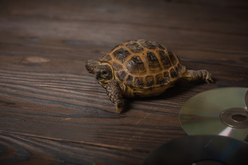 A Central Asian tortoise or a steppe tortoise crawls on a charred wooden shield. side of her CD Wall mural