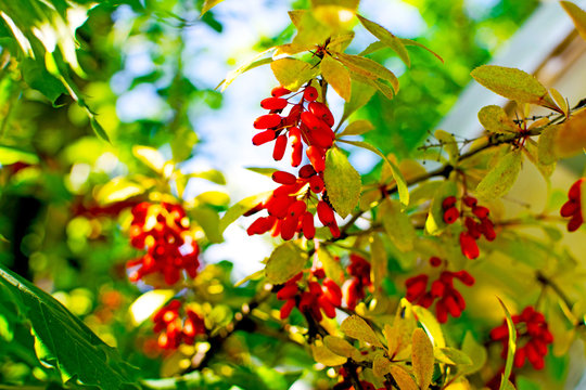 Ripe berries of barberry on the autumn branches of the bush.