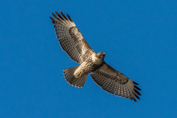 Red-Tailed Hawk in flight against a blue sky