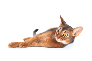Beautiful abyssinian cat portrait isolated on white, cat lies stretched out