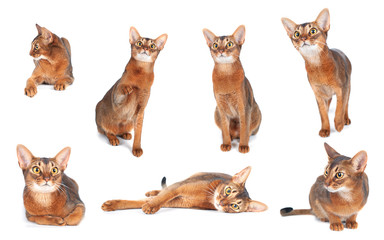 Abyssinian cat isolated on white, several cats in different poses collage
