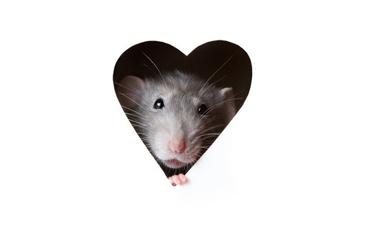 A cute funny rat is looking out of a heart-shaped hole in white paper. The rat is a symbol of the 2020 foot. Copy space.