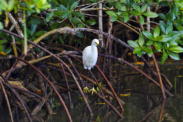 Golden slippers of snowy egret visible in Florida mangrove perch
