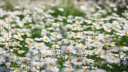 壁紙(ウォールミューラル) - flower