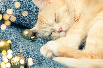 Cute cream cat sleeps on a blue plaid next to Christmas decorations