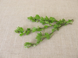 Common broom for alternative medicine, young twigs and flower buds